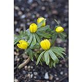 Eranthus, Winterling, Eranthis, gelber Frühjahrsblüher, 3 Zwiebel im Topf 9 cm vorgetrieben
