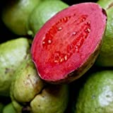 10 Samen / Packung DIY Hausgarten Pflanze frische Samen Guave Guave Thai Rosa Große Früchte Freies Verschiffen Seed