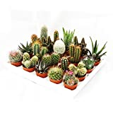 Mini-Kakteen und Sukkulenten - Set mit 20 Pflanzen