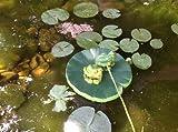 2 Frosche Frosch Teichdekoration Schwimmform Teichfrosch Teichdeko Gartendekoration