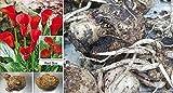 1x Calla Lilien Zwiebel Knolle Original Garten Blume Pflanze Neuheit Frisch R21