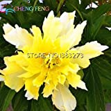2016 Chinese Baum-Pfingstrose Seeds 5 PC nach Hause Pfingstrose Blumensamen Seltene Flores Pflanzen Stauden Blumen Zwiebeln Samen Indoor Bonsai Pflanze