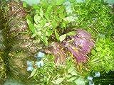 10 Bund ca. 60 Wasserpflanzen + Dünger + Aufbereiter, Aquarienpflanzen