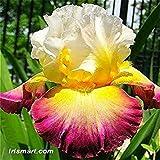 VISTARIC 100 PC-Lilien-Blumensamen, schöne Blume Lilium Lily Pflanzen Zwiebeln, Faint Duft, Indoor Bonsai Topfpflanze für Hausgarten 10