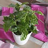 Kaffee-Pflanze (Coffea Arabica) 2 Pflanzen
