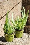 Echte Aloe Vera, üppige Pflanzen,ca. 30 cm Gesamthöhe