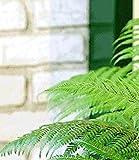 BALDUR-Garten Baumfarn im 19 cm-Topf 1 Pflanze Dicksonia antarctica Palmfarn australischer Baumfarn