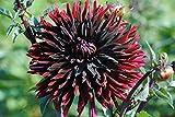 Sommerblüher Semikaktusdahlie 'Black Jack', 1 Dahlien-Knolle Größe ca. 16 cm, Blütengröße ca. 20-25cm, Blütenfarbe dieser Dahlia ist schwarzrot