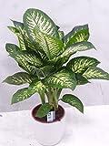 [Palmenlager] - Dieffenbachia seg. 'Tropic Snow' 80/100 cm / Zimmerpflanze