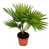 Zimmerpalme - Livistona rotundifola - Zimmerpflanze