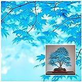 Große Verkäufe !!! 20pcs blau Ahornsamen chinesische seltene blaue Bonsai Ahornbaum Samen Bonsai Pflanzen Bäume für Blumentopf Pflanzer