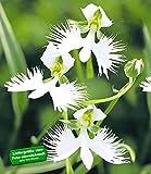 BALDUR-Garten Japanische Weiße Vogelblume 'Habenaria Radiata',2 Stück Orchidee