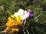 AUSVERKAUF : Krokus - Crocus ' Großblumige Mischung ' 20 Zwiebeln