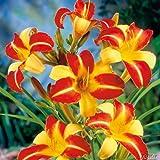 Taglilie Frans Hals - Hemerocallis - Im 9 cm Topf - Lilien Zierpflanze, winterhart zum Pflanzen, farben-frohe Blüten, mehrjährig - Top Qualität von Garten Schlüter