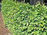 10 Stück Carpinus betulus * (Weißbuche oder Hainbuche), Wurzelware, Weißbuchenhecke, Hainbuchenhecke * leichter Heister 60-80 cm