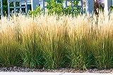 Garten-Reitgras 'Karl Foerster' - Calamagrostis x acutiflora - als Hecke, Struktur-Pflanze, Rosenbegleiter - Winterhartes Zier-Gras von Garten Schlüter - Pflanzen in Top Qualität