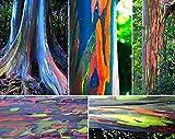 Regenbogenbaum 10 Samen- (Eucalyptus deglupta) Bonsai/Patio