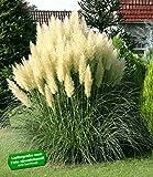 BALDUR-Garten Pampasgras 'Evita';1 Pflanze