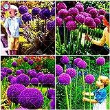 Virtue 100 Teile/Beutel Giant Allium giganteum Zwiebel Bonsai schöne lila Blume Pflanze hausgarten Blumen zwiebeln topfpflanzen: Mischen