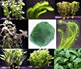 Anti-Algen-Set, schnellwachsene 5 Arten + 1 Mooskugel