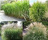 RIESEN CHINASCHILF ca.100 Samen - Silberfeder - Miscanthus chinensis - winterhart - Prächtiges Gras für den Garten - ideal als Ufer Pflanze für den Gartenteich, als Sichtschutz oder als Begrenzung geeignet