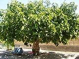 Winterharter Feigenbaum Ficus carica Brown Turkey mit eßbaren Früchten 1 Baum 150-160 cm. im 12 Liter Container