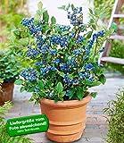 BALDUR-Garten Topf-Heidelbeere,1 Pflanze Vaccinium corymbosum Heidelbeere für Töpfe und Kübel