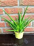 echte Aloe vera Pflanze,'Barbadensis miller' Sweet, Kräuter Pflanzen 2stk.'essbar!'