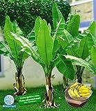 BALDUR-Garten Winterharte Bananen 'grün', 1 Pflanze, Musa basjoo