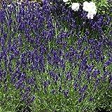Stauden Echter Lavendel, Lavandula angustifolia,  6 Pflanzen, 7-9 cm Topf, 10 - 20 cm hoch, winterhart, plus 1 Paar Handschuhe gratis