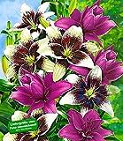 BALDUR-Garten Lilien-Mix 'Tango & Lilac', 5 Zwiebeln Lilium