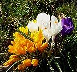 SPARANGEBOT Crocus vernus - Großblumige Krokus Prachtmischung 50 Zwiebeln