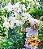 BALDUR-Garten Tree-Lily Pretty Woman 3 Stück Baumlilien Lilium