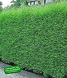 BALDUR-Garten Leyland-Zypressen-Hecke, 1 Pflanze
