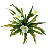 Krebsschere 6er Set - Winterhart Sauerstoffpflanzen - Stratiotes Aloides - Schwimmpflanze Wasselaroe - Klärpflanze für den Teich - Wasserreinigende Teichpflanzen - Van der Velde Wasserpflanzen