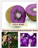 25x Lila Kiwi Selbstbefruchtend Samen Hingucker Pflanze Rarität Obst #141