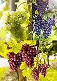 3er Set Weintrauben Pflanzen rosa | hell | blau | Weinreben winterhart