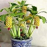 Tomasa Samenhaus- Selten Zwerg Bananen Obstbaum Samen Bio-Bananen Obst Saatgut mini bonsai obst exotischen mehrjährig winterhart Obstpflanzen für Terrasse/Balkon/Garten