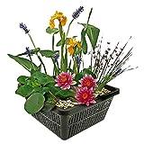 Mini-Teichpflanzen-Set - Multi - 1 rote Seerose, 1 Sauerstoffpflanze, 2 Wasserpflanzen - Winterhart - Inklusive Teichkorb, Wasserpflanzen-Lehm, Dünger und Abdeck-Kies - Van der Velde Wasserpflanzen