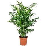 Chamaedorea 'Elegans'   Mexikanische Zwergpalme pro Stück - Zimmerpflanze im Aufzuchttopf cm15 cm - ↕40-50 cm