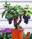 Shopmeeko 50 Teile/beutel trauben pflanzen Miniatur Trauben Bonsai Palnt bonsai Organische Obstpflanzen Für Garten Mini-bonsai-baum Semillas Pot Plante: Schwarz