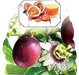 Passionsblume, Maracuja exotische Schönheit, (Passiflora edulis), ca. 65cm hoch im 15cm Topf (Sorte: Purple Giant)