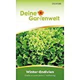 Winterendivien Gialla a cuore Samen | Salatsamen | Endiviensamen | Saatgut für Endivien