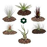 exotenherz - Tillandsien, dekorative Pflanzen - 6er Set