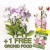 Inter Flower - 10 Stück Phalaenopsis,+ 24 Düngerstäbchen 2 Triebe, Orchidee, blühend, 9-11cm Topf, Orchid, Orchidée