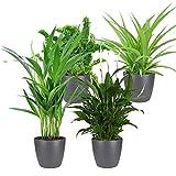 4er Set'Air so pure' | Luftreinigende Zimmerpflanzen Set | Vier Grünpflanzen mit Topf | Elho Übertopf | Höhe 25-30 cm | Topf-Ø 12 cm