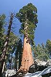 Seedeo® Anzuchtset Küsten - Mammutbaum (Sequoia sempervirens) 70 Samen