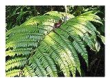 Cyathea moluccana - Farn - 50 Samen