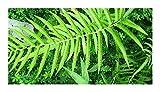 Cyclosorus aridus - Farn - 50 Samen