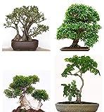 Seedeo® Bonsai Anzuchtset Mediteran deluxe (Echte Myrte, Ölbaum, Zwerg Granatapfel, Schlafbaum)